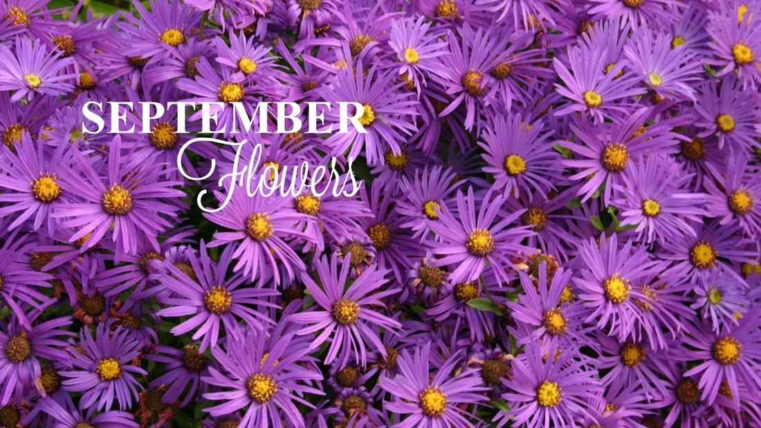 September Flowers - Aster